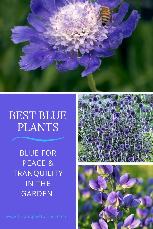 Best Blue Plants Blue for Peace Tranquility in the Garden #Garden #Plants #Gardening #PlantswithBlueFlowers #PlantswithBlueBlooms #BluePlants #DramaticFoliagePlants