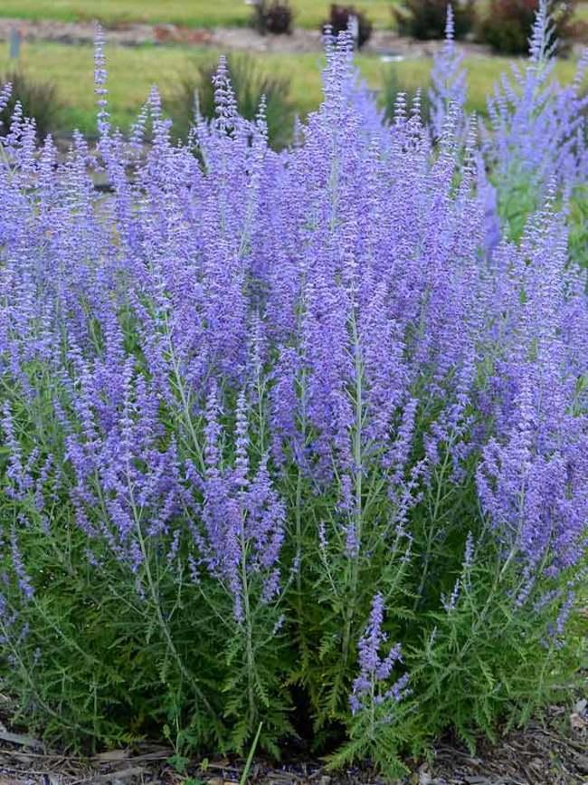 Sun Lover Blue Jean Baby Russian Sage #Garden #Plants #Gardening #PlantswithBlueFlowers #PlantswithBlueBlooms #BluePlants #DramaticFoliagePlants