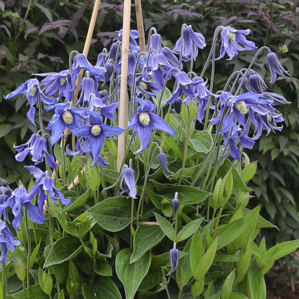 Bee Friendly Clematis Blue Ribbons Clematis #Garden #Plants #Gardening #PlantswithBlueFlowers #PlantswithBlueBlooms #BluePlants #DramaticFoliagePlants