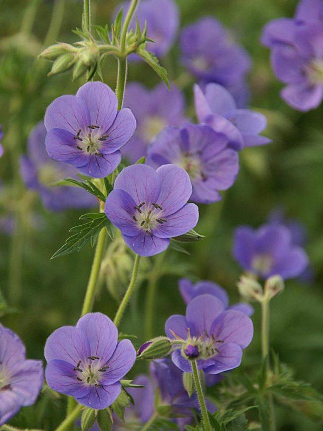 Best Blue Plants for the Garden Brookside Geranium #Garden #Plants #Gardening #PlantswithBlueFlowers #PlantswithBlueBlooms #BluePlants #DramaticFoliagePlants
