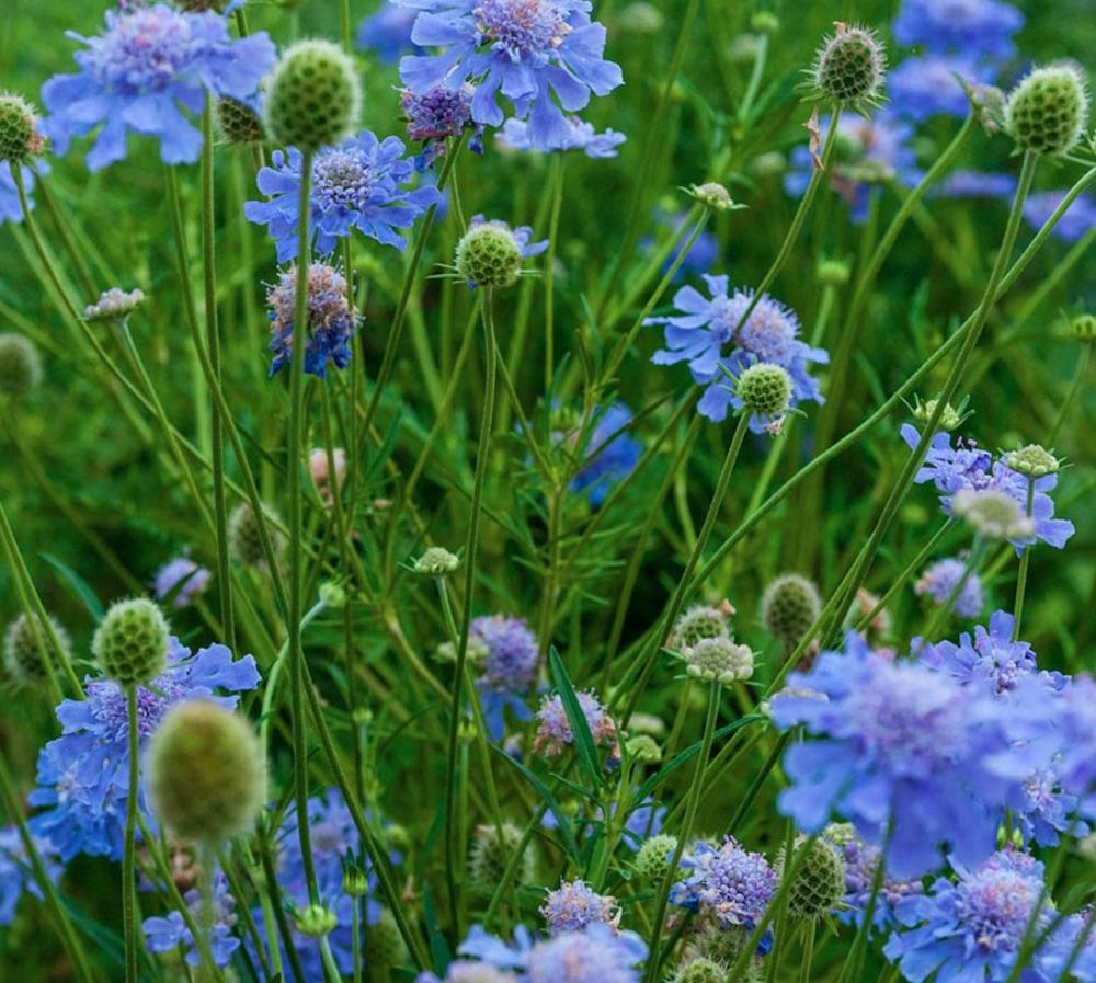 Best Blue Plants for the Garden Butterfly Blue Scabiosa #Garden #Plants #Gardening #PlantswithBlueFlowers #PlantswithBlueBlooms #BluePlants #DramaticFoliagePlants