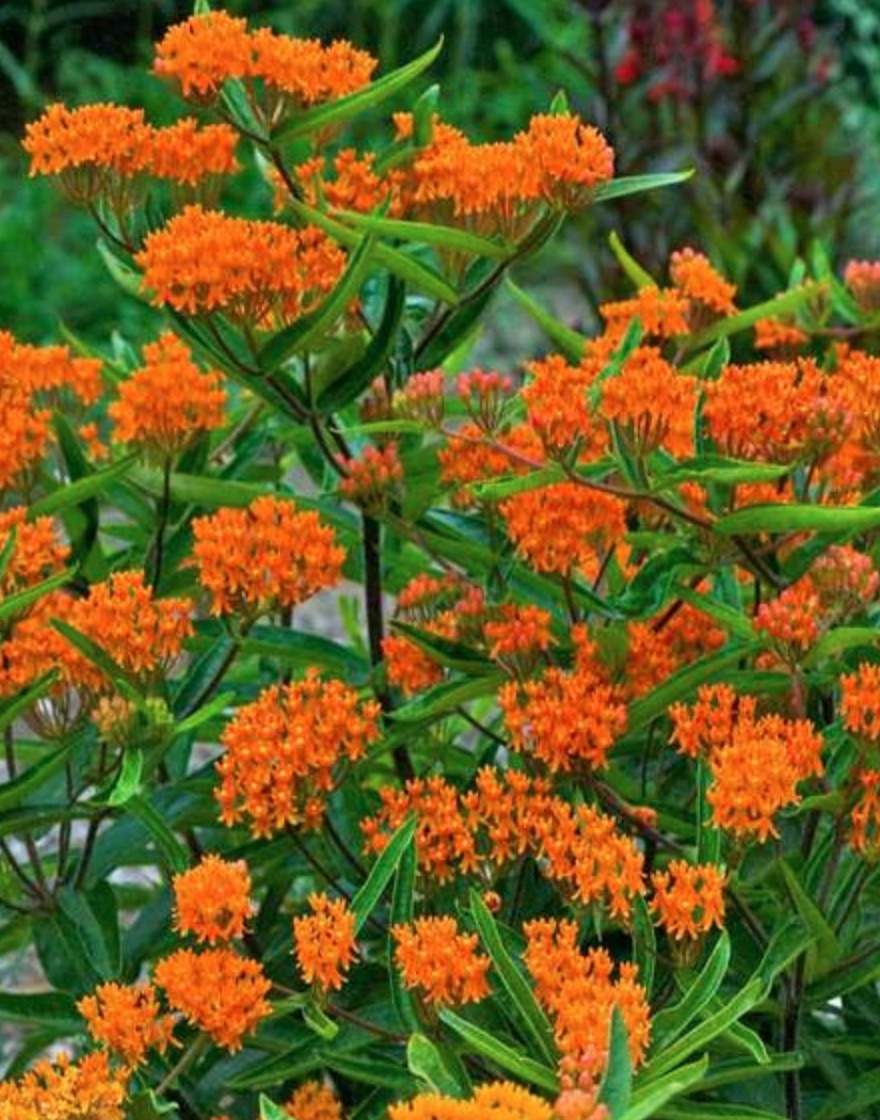 Plants that Attract Hummingbirds - Butterfly Weed Asclepias Tuberosa #Hummingbirds #Garden #Gardening #Plants #GardenPollinators #AttractHummingbirds #NectarRichPlants #BeneficialForPollinators