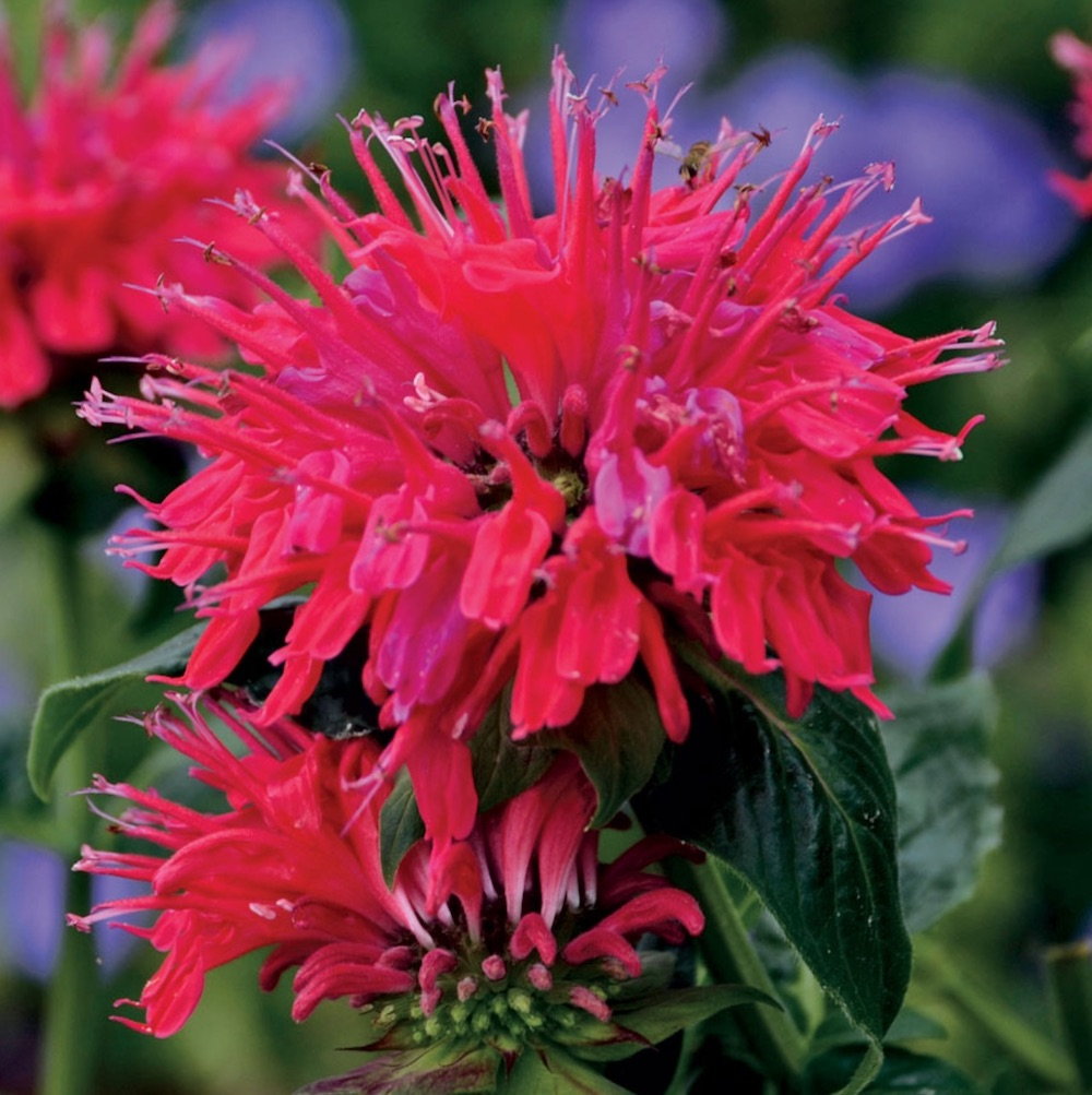 Cherry Pops Monarda #Hummingbirds #Garden #Gardening #Plants #GardenPollinators #AttractHummingbirds #NectarRichPlants #BeneficialForPollinators