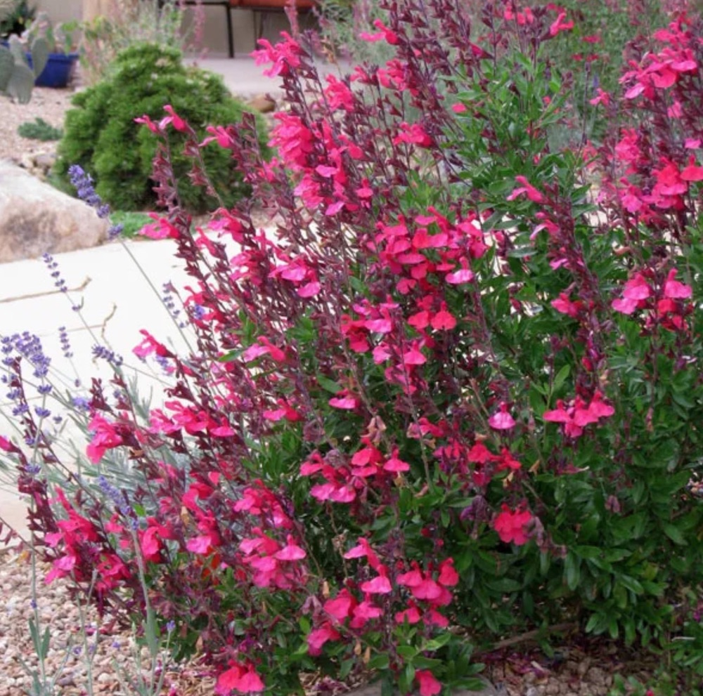 Cold Hardy Pink Texas Sage #Hummingbirds #Garden #Gardening #Plants #GardenPollinators #AttractHummingbirds #NectarRichPlants #BeneficialForPollinators