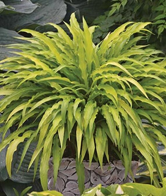 Plants with Gold Leaf Foliage Curly Fries Hosta #GoldFoliage #PlantswithGoldLeaves #DramaticFoliagePlants #Gardening #Landscapes #GoldLeafPlants