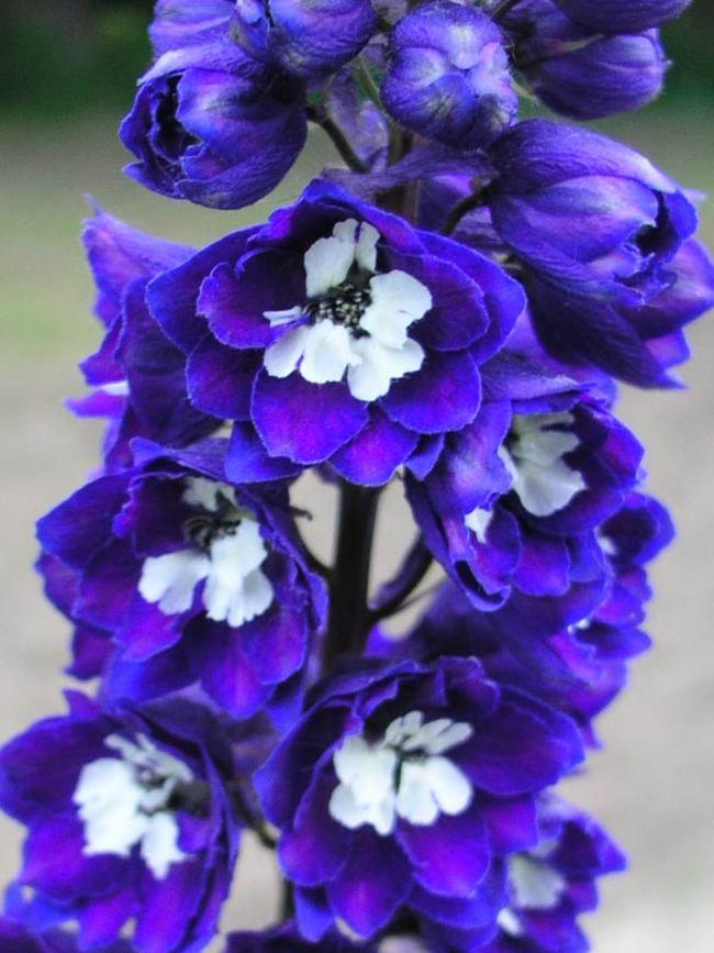 Best Blue Plants for the Garden Dark Blue White Bee Delphinium #Garden #Plants #Gardening #PlantswithBlueFlowers #PlantswithBlueBlooms #BluePlants #DramaticFoliagePlants