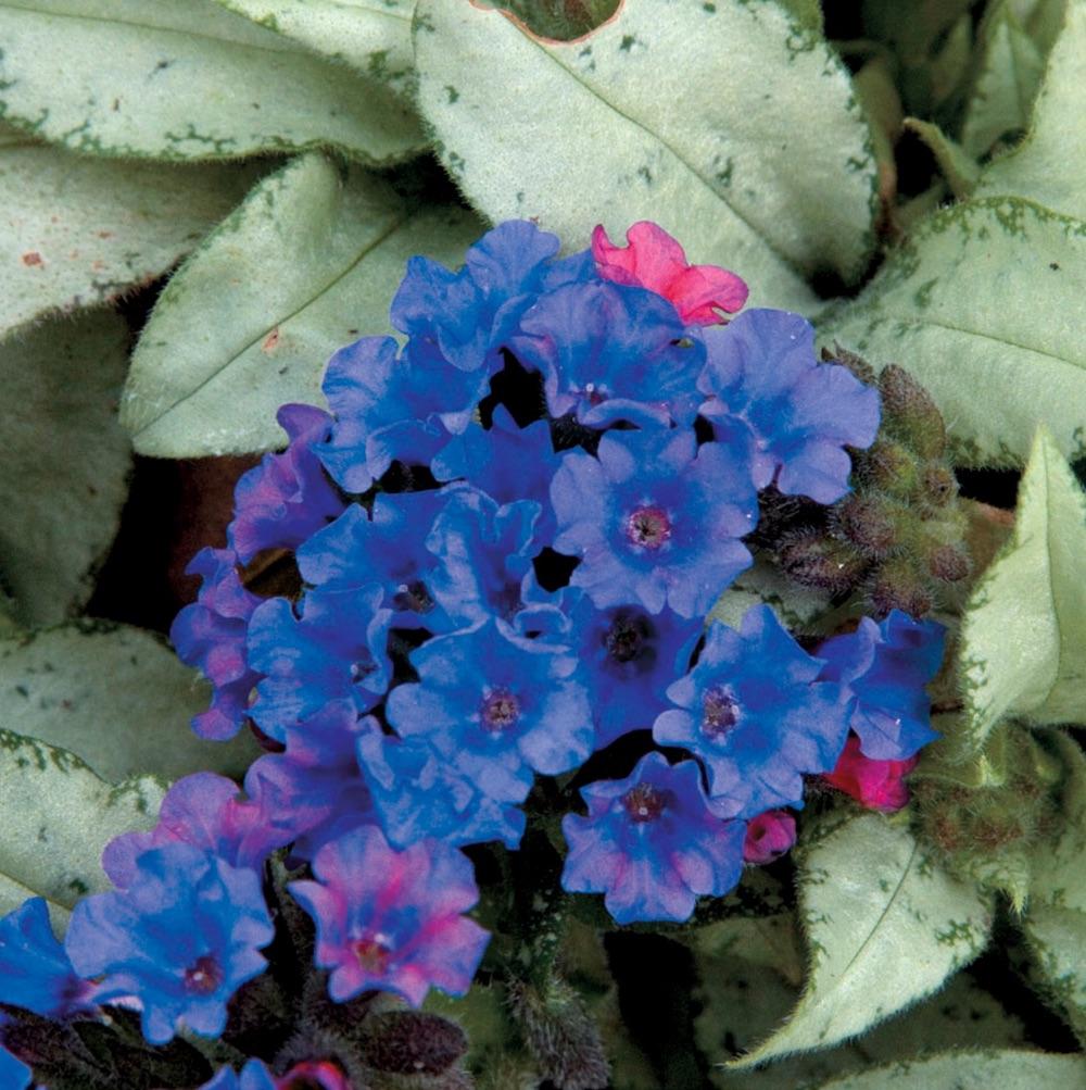 Spring Bloomer Diana Clare Pulmonaria #Garden #Plants #Gardening #PlantswithBlueFlowers #PlantswithBlueBlooms #BluePlants #DramaticFoliagePlants