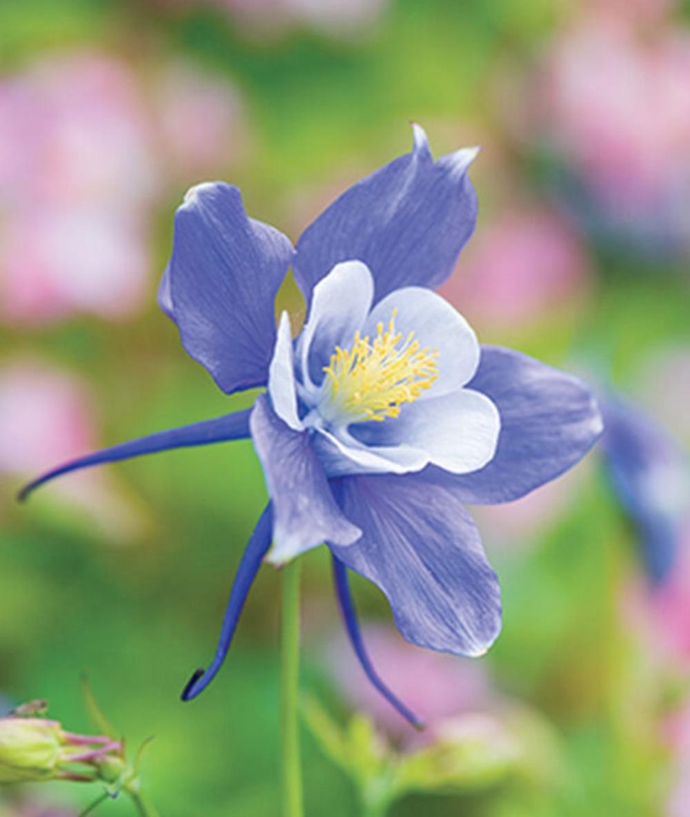 Spring Bloomer Early Bird Blue and White Columbine #Garden #Plants #Gardening #PlantswithBlueFlowers #PlantswithBlueBlooms #BluePlants #DramaticFoliagePlants