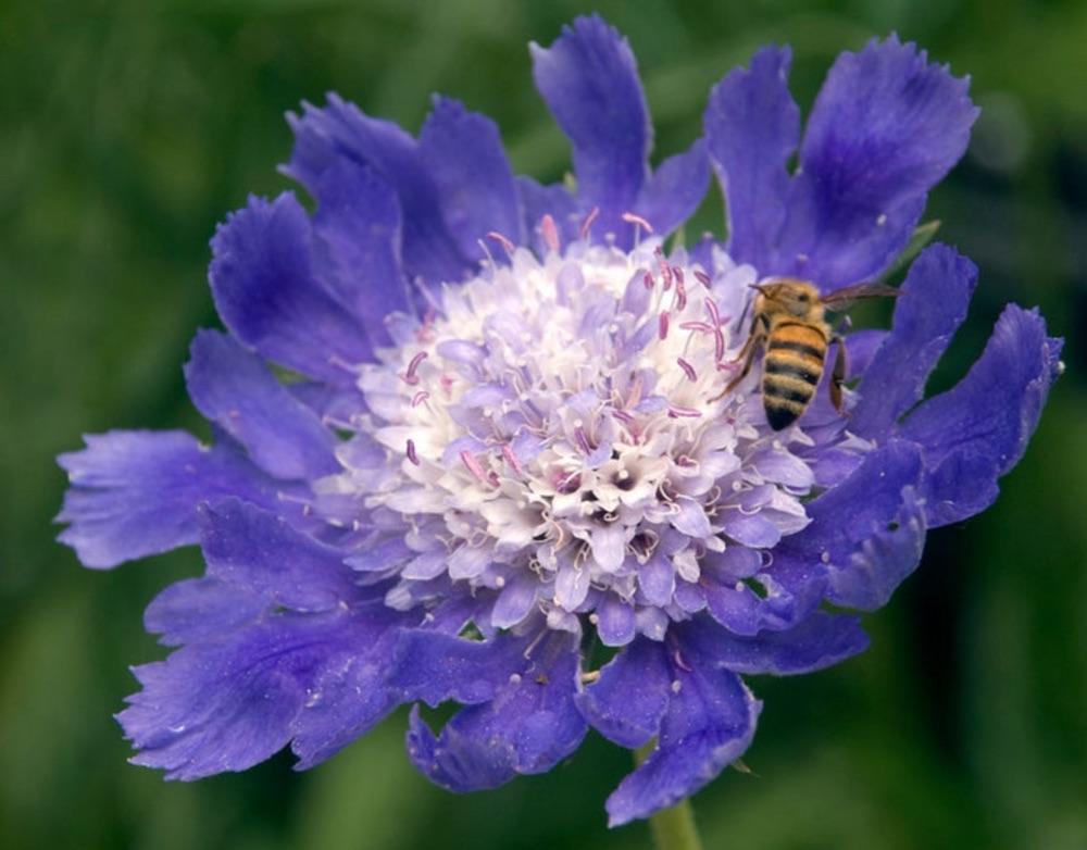 Spring into early Summer Blooming Fama Scabiosa #Garden #Plants #Gardening #PlantswithBlueFlowers #PlantswithBlueBlooms #BluePlants #DramaticFoliagePlants