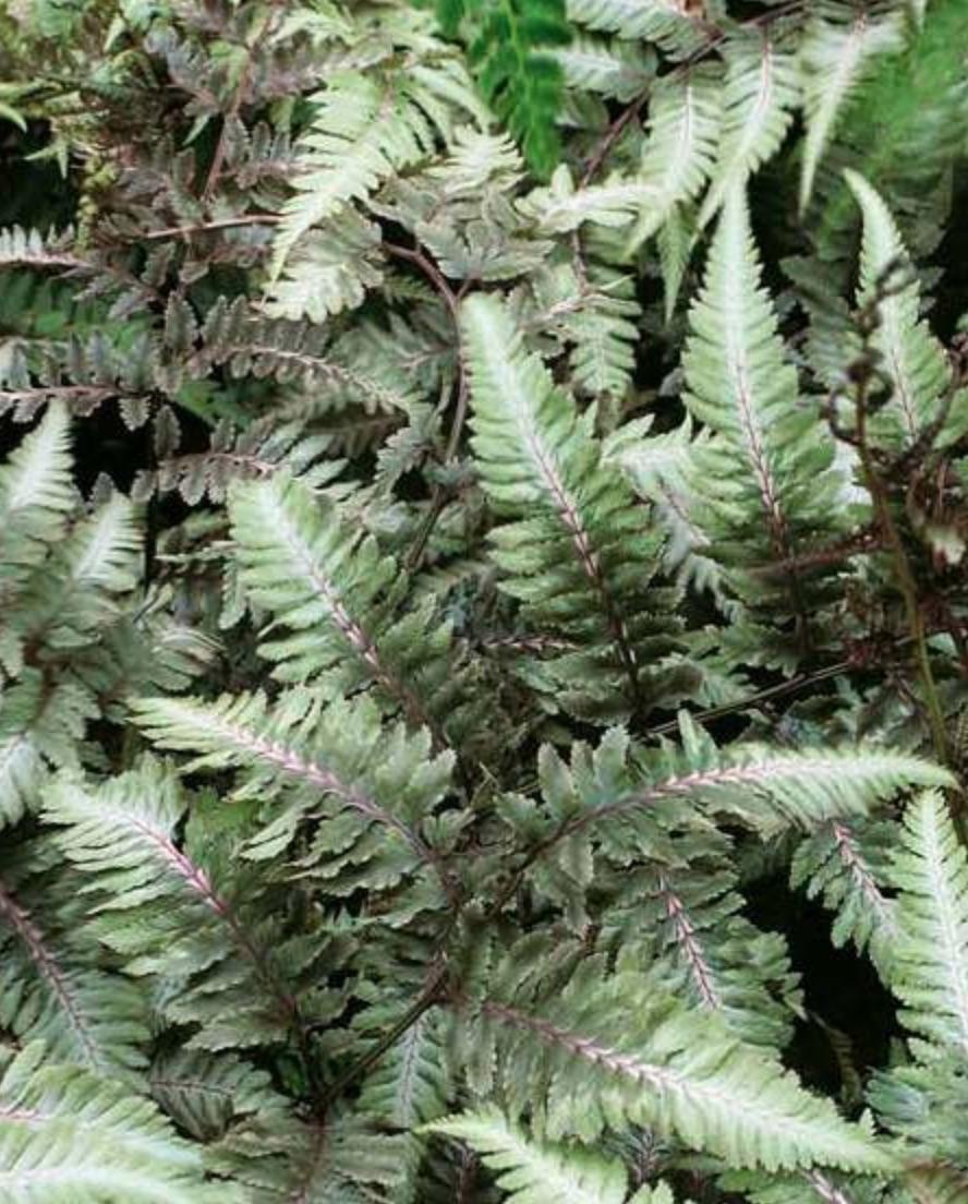 Fern Metallicum #SilverFoliage #PlantswithSilverLeaves #DramaticFoliagePlants #Gardening #Landscapes #SilverLeafPlants