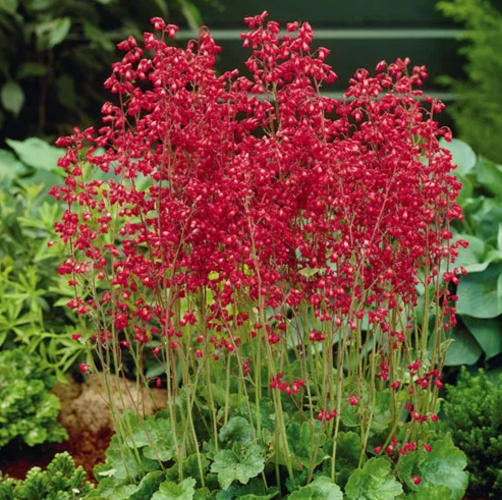 A Pollinator Feast Firefly Coral Bells #Hummingbirds #Garden #Gardening #Plants #GardenPollinators #AttractHummingbirds #NectarRichPlants #BeneficialForPollinators