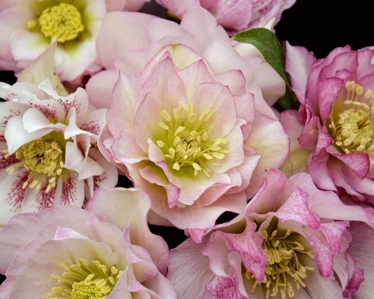 How to Grow Hardy Hellebore Flower Girl Helleborus #Perennials #Garden #Gardening #HelleborusPerennials #Helleborus #LentenRose #ShadeLovingPlants #ShadeLovers #SpringBloomingPlants