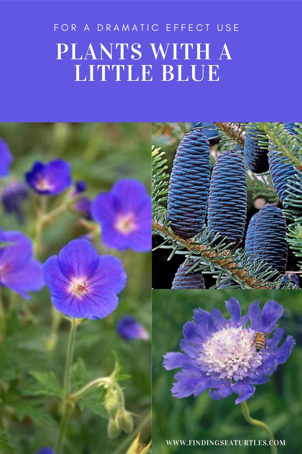 For a Dramatic Effect Use Plants with a Little Blue #Garden #Plants #Gardening #PlantswithBlueFlowers #PlantswithBlueBlooms #BluePlants #DramaticFoliagePlants