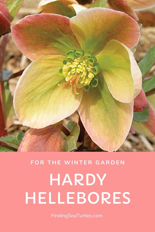For the WINTER GARDEN Hardy Hellebores #Perennials #Garden #Gardening #HelleborusPerennials #Helleborus #LentenRose #ShadeLovingPlants #ShadeLovers #SpringBloomingPlants