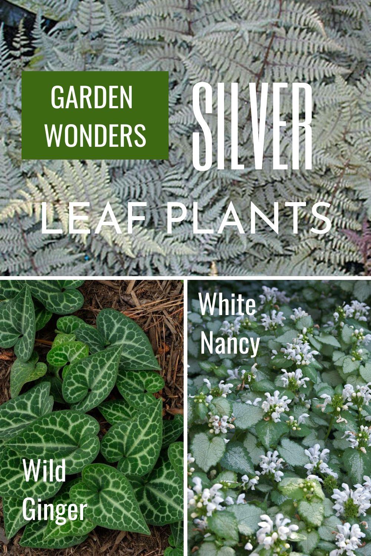 GARDEN WONDERS SILVER LEAF PLANS Wild Ginger White Nancy #SilverFoliage #PlantswithSilverLeaves #DramaticFoliagePlants #Gardening #Landscapes #SilverLeafPlants