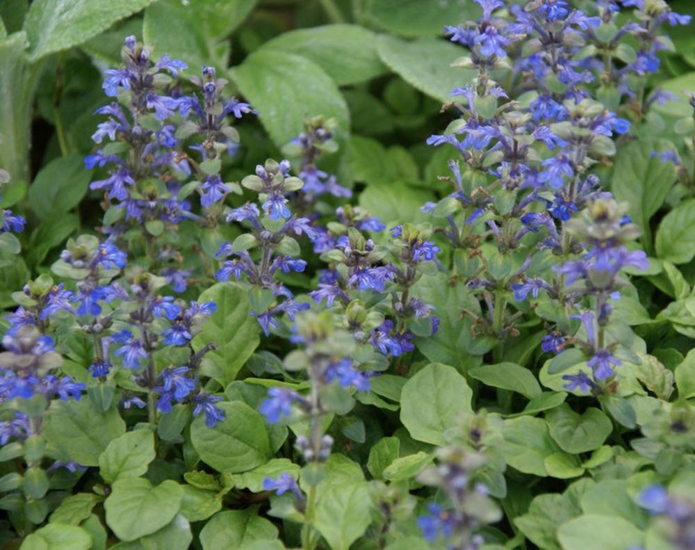 Genevensis Ajuga #PollinatorPlants #RabbitResistant #PlantsResistanttoRabbits #PlantsforPollinators #Gardening #Perennials