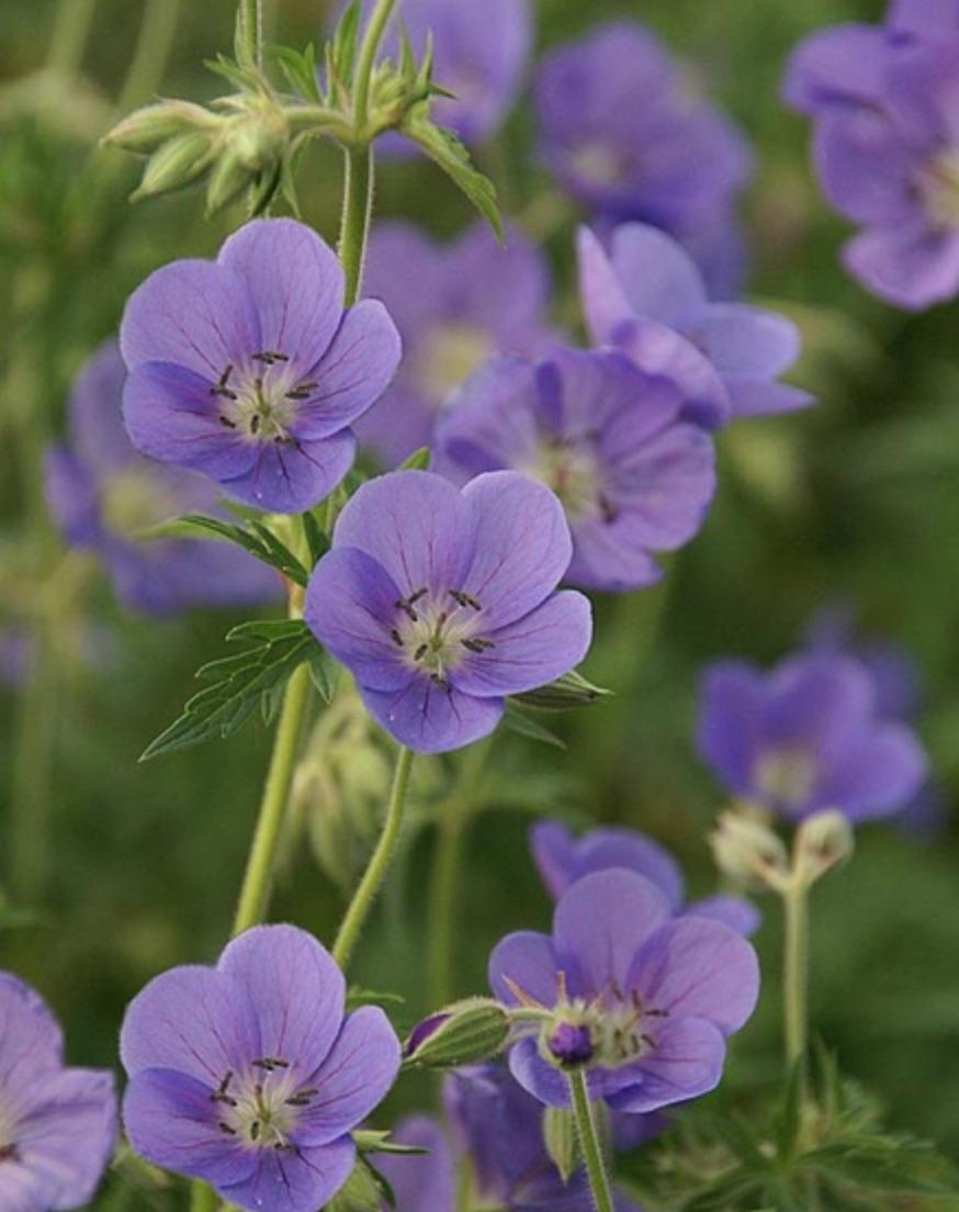 Geranium Brookside #PollinatorPlants #RabbitResistant #PlantsResistanttoRabbits #PlantsforPollinators #Gardening #Perennials