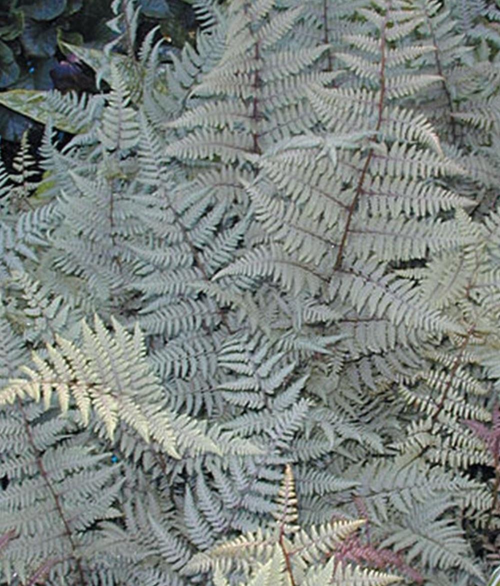 Plants with Silver Foliage Ghost Athyrium Fern #SilverFoliage #PlantswithSilverLeaves #DramaticFoliagePlants #Gardening #Landscapes #SilverLeafPlants