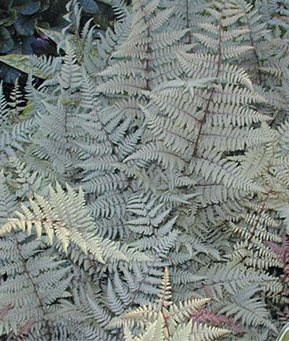 Ghost Athyrium Fern #SilverFoliage #PlantswithSilverLeaves #DramaticFoliagePlants #Gardening #Landscapes #SilverLeafPlants