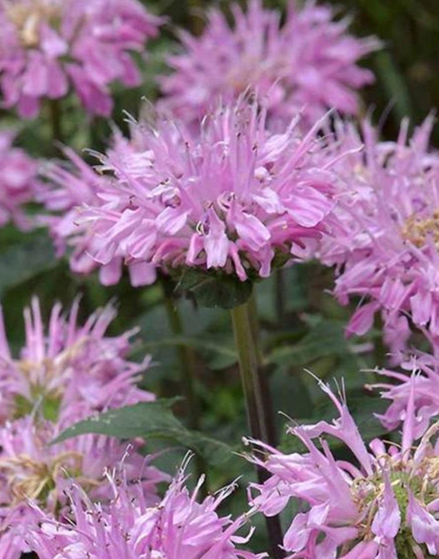 Grand Mum Monarda #PollinatorPlants #RabbitResistant #PlantsResistanttoRabbits #PlantsforPollinators #Gardening #Perennials
