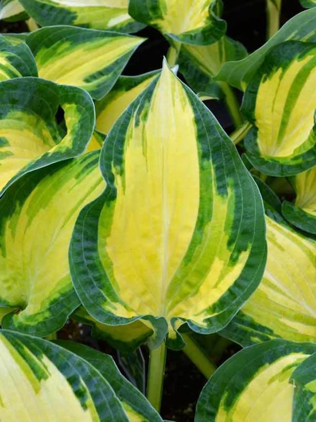 Plants with Gold Leaf Foliage Happy Dayz Hosta #GoldFoliage #PlantswithGoldLeaves #DramaticFoliagePlants #Gardening #Landscapes #GoldLeafPlants