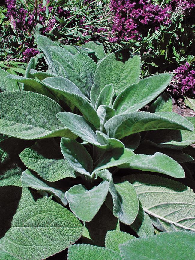 Plants with Silver Foliage Helen Von Stein Stachys https://www.bluestoneperennials.com/STVS