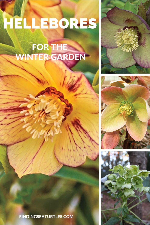 Hellebores for the Winter Garden #Perennials #Garden #Gardening #HelleborusPerennials #Helleborus #LentenRose #ShadeLovingPlants #ShadeLovers #SpringBloomingPlants