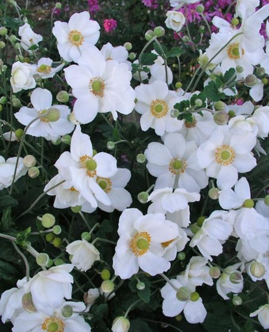Pollinator Plants that are Rabbit Resistant Honorine Jobert Anemone #PollinatorPlants #RabbitResistant #PlantsResistanttoRabbits #PlantsforPollinators #Gardening #Perennials