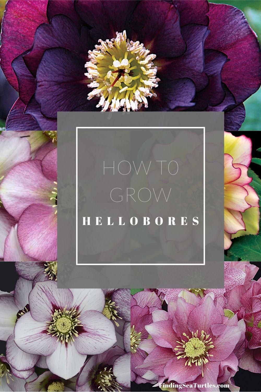 How to Grow Hellebores #Perennials #Garden #Gardening #HelleborusPerennials #Helleborus #LentenRose #ShadeLovingPlants #ShadeLovers #SpringBloomingPlants