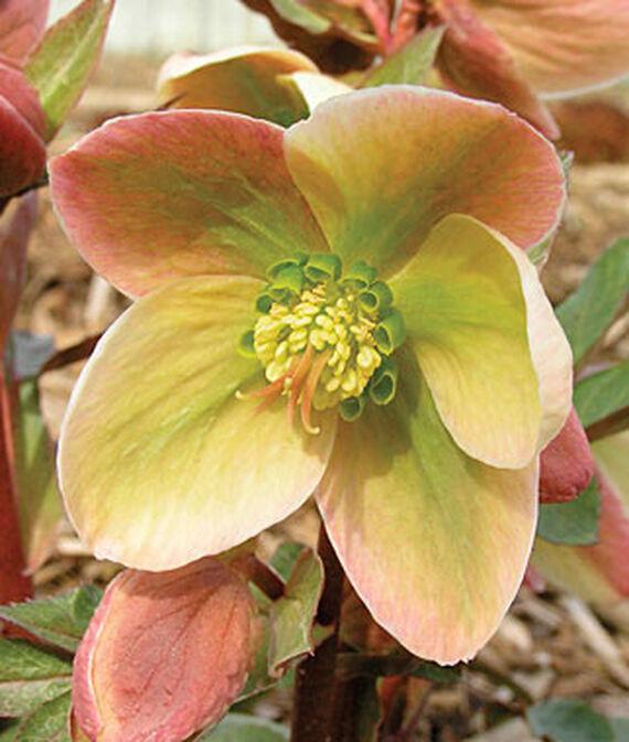 Shade Lover Ivory Prince Hellebore #Perennials #Garden #Gardening #HelleborusPerennials #Helleborus #LentenRose #ShadeLovingPlants #ShadeLovers #SpringBloomingPlants