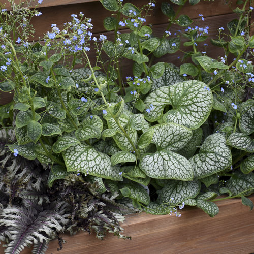 Plants with Silver Leaf Foliage Jack of Diamonds Brunnera #SilverFoliage #PlantswithSilverLeaves #DramaticFoliagePlants #Gardening #Landscapes #SilverLeafPlants