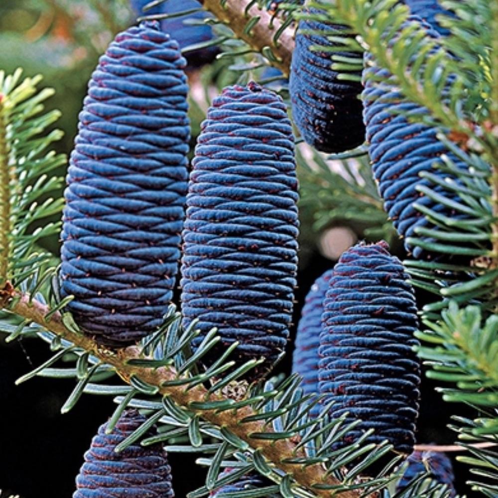 Best Blue Plants for the Garden Korean Fir Tree #Garden #Plants #Gardening #PlantswithBlueFlowers #PlantswithBlueBlooms #BluePlants #DramaticFoliagePlants