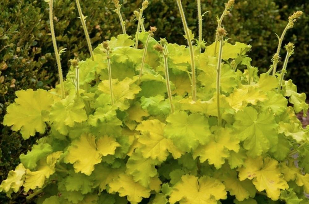 Plants with Gold Leaf Foliage Lemon Love Heuchera #GoldFoliage #PlantswithGoldLeaves #DramaticFoliagePlants #Gardening #Landscapes #GoldLeafPlants