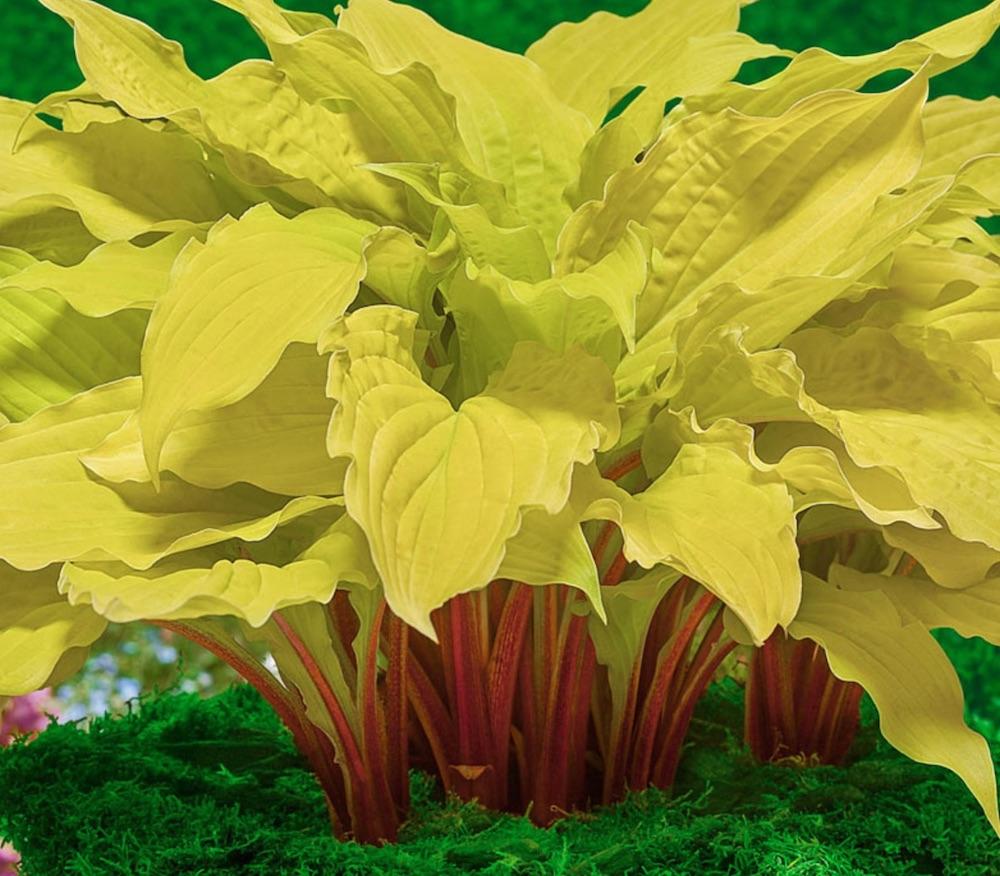 Plants with Gold Leaf Foliage Lipstick Blonde Hosta #GoldFoliage #PlantswithGoldLeaves #DramaticFoliagePlants #Gardening #Landscapes #GoldLeafPlants