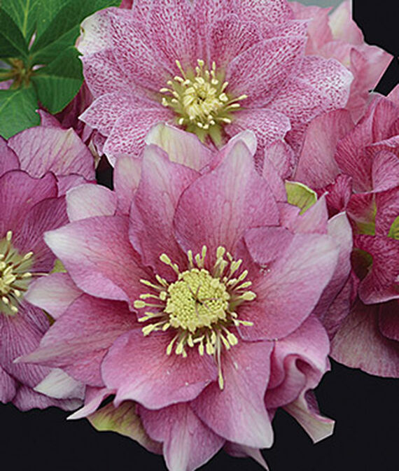 How to Grow Hardy Hellebores Maid of Honor Helleborus #Perennials #Garden #Gardening #HelleborusPerennials #Helleborus #LentenRose #ShadeLovingPlants #ShadeLovers #SpringBloomingPlants