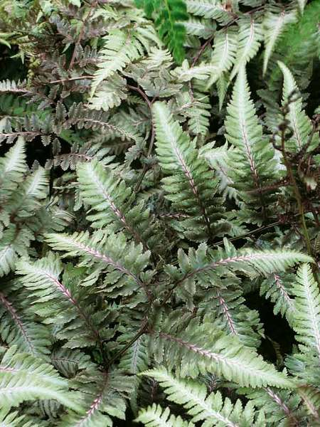 Plants with Silver Leaf Foliage Metallicum Athyrium Fern #SilverFoliage #PlantswithSilverLeaves #DramaticFoliagePlants #Gardening #Landscapes #SilverLeafPlants
