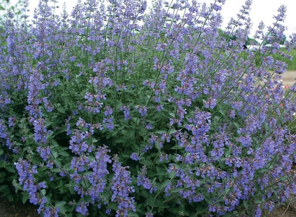 Pollinator Gardens Nepeta Six Hills Giant #Hummingbirds #Garden #Gardening #Plants #GardenPollinators #AttractHummingbirds #NectarRichPlants #BeneficialForPollinators