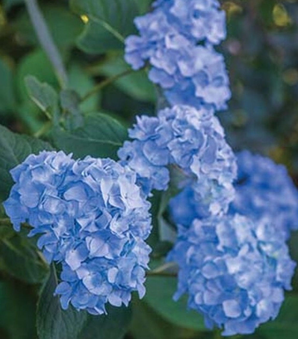 Best Blue Plants for the Garden Nikko Blue Hydrangea #Garden #Plants #Gardening #PlantswithBlueFlowers #PlantswithBlueBlooms #BluePlants #DramaticFoliagePlants