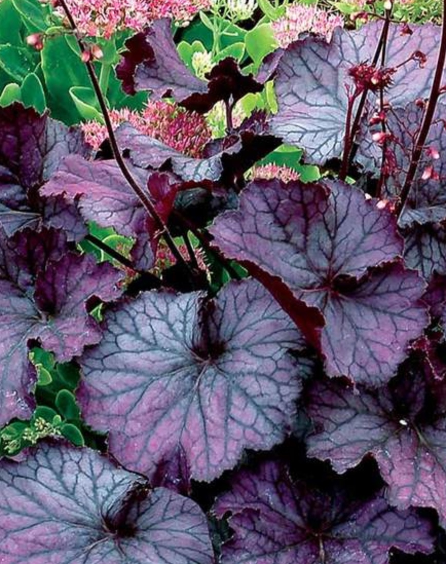 Plants that Attract Hummingbirds Northern Exposure Purple Heuchera #Hummingbirds #Garden #Gardening #Plants #GardenPollinators #AttractHummingbirds #NectarRichPlants #BeneficialForPollinators