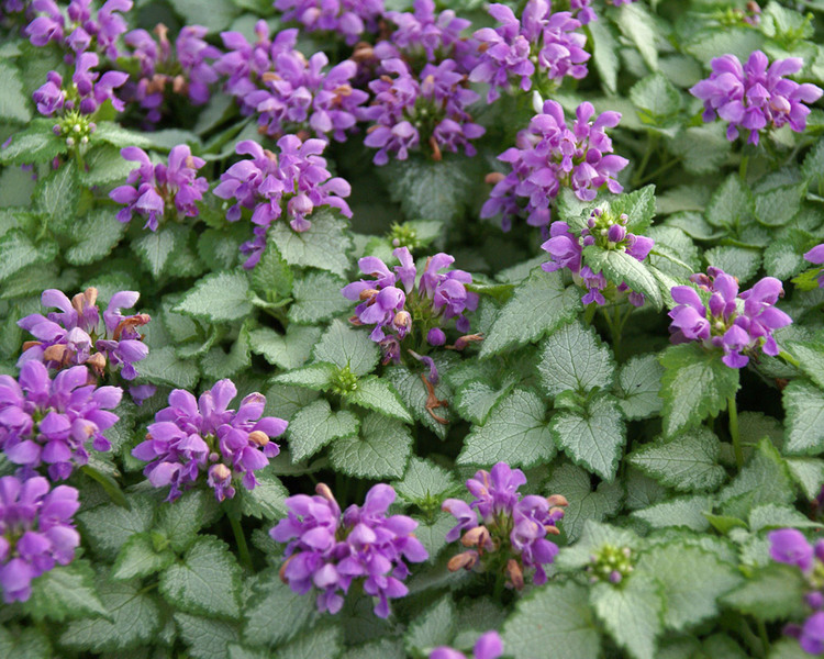 Plants with Silver Leaf Foliage Orchid Frost Lamium #SilverFoliage #PlantswithSilverLeaves #DramaticFoliagePlants #Gardening #Landscapes #SilverLeafPlants