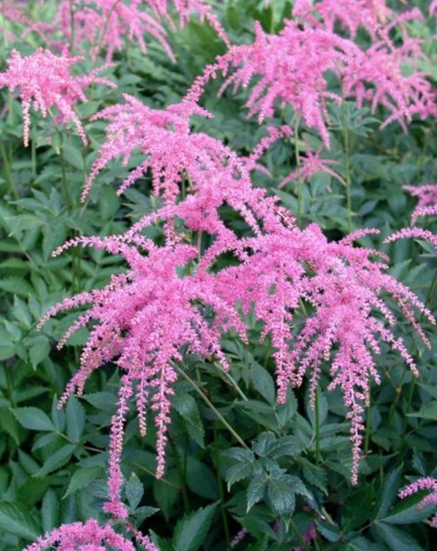 Pollinator Loving Ostrich Plume Astilbe #Hummingbirds #Garden #Gardening #Plants #GardenPollinators #AttractHummingbirds #NectarRichPlants #BeneficialForPollinators