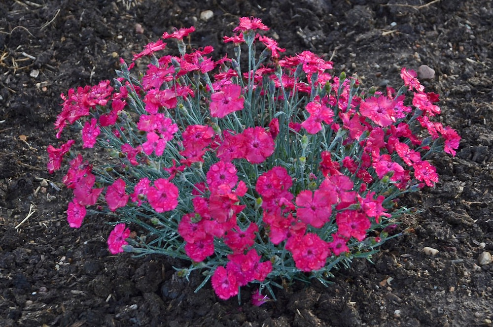 Plants with Silver Foliage Paint the Town Magenta Dianthus #SilverFoliage #PlantswithSilverLeaves #DramaticFoliagePlants #Gardening #Landscapes #SilverLeafPlants