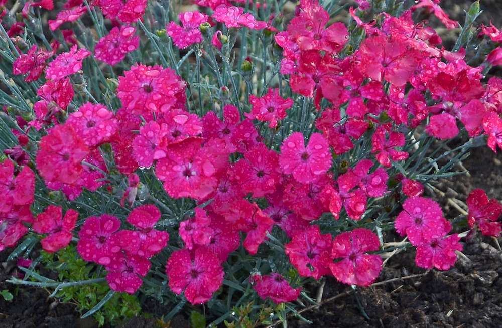Plants with Silver Leaf Foliage Paint the Town Magenta Dianthus