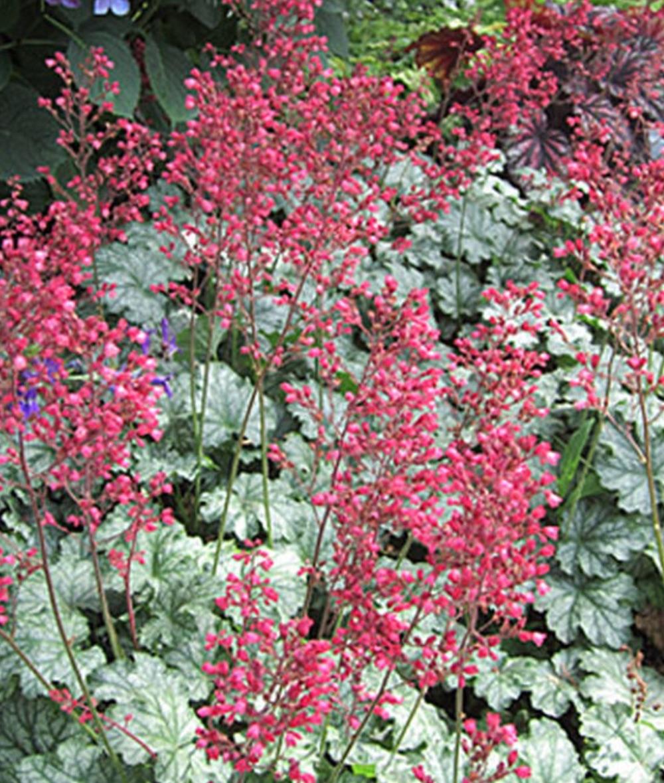 Paris Heuchera #SilverFoliage #PlantswithSilverLeaves #DramaticFoliagePlants #Gardening #Landscapes #SilverLeafPlants