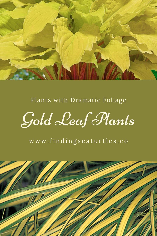 Plants with Dramatic Foliage Gold Leaf Plants #GoldFoliage #PlantswithGoldLeaves #DramaticFoliagePlants #Gardening #Landscapes #GoldLeafPlants