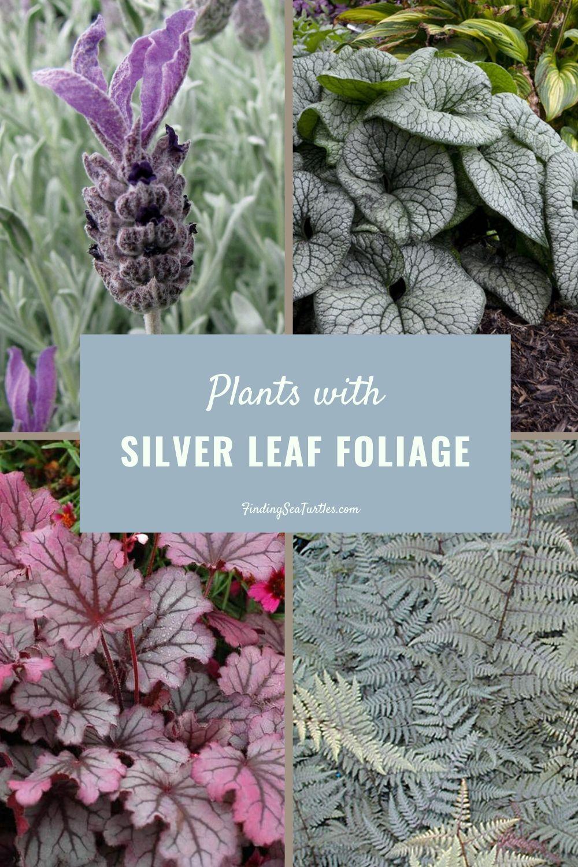 Plants with Silver Leaf Foliage #SilverFoliage #PlantswithSilverLeaves #DramaticFoliagePlants #Gardening #Landscapes #SilverLeafPlants