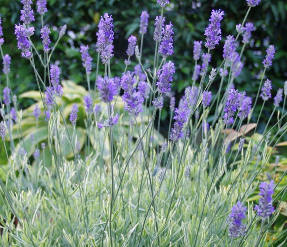 Plants with Silver Foliage Platinum Blonde Lavender #SilverFoliage #PlantswithSilverLeaves #DramaticFoliagePlants #Gardening #Landscapes #SilverLeafPlants
