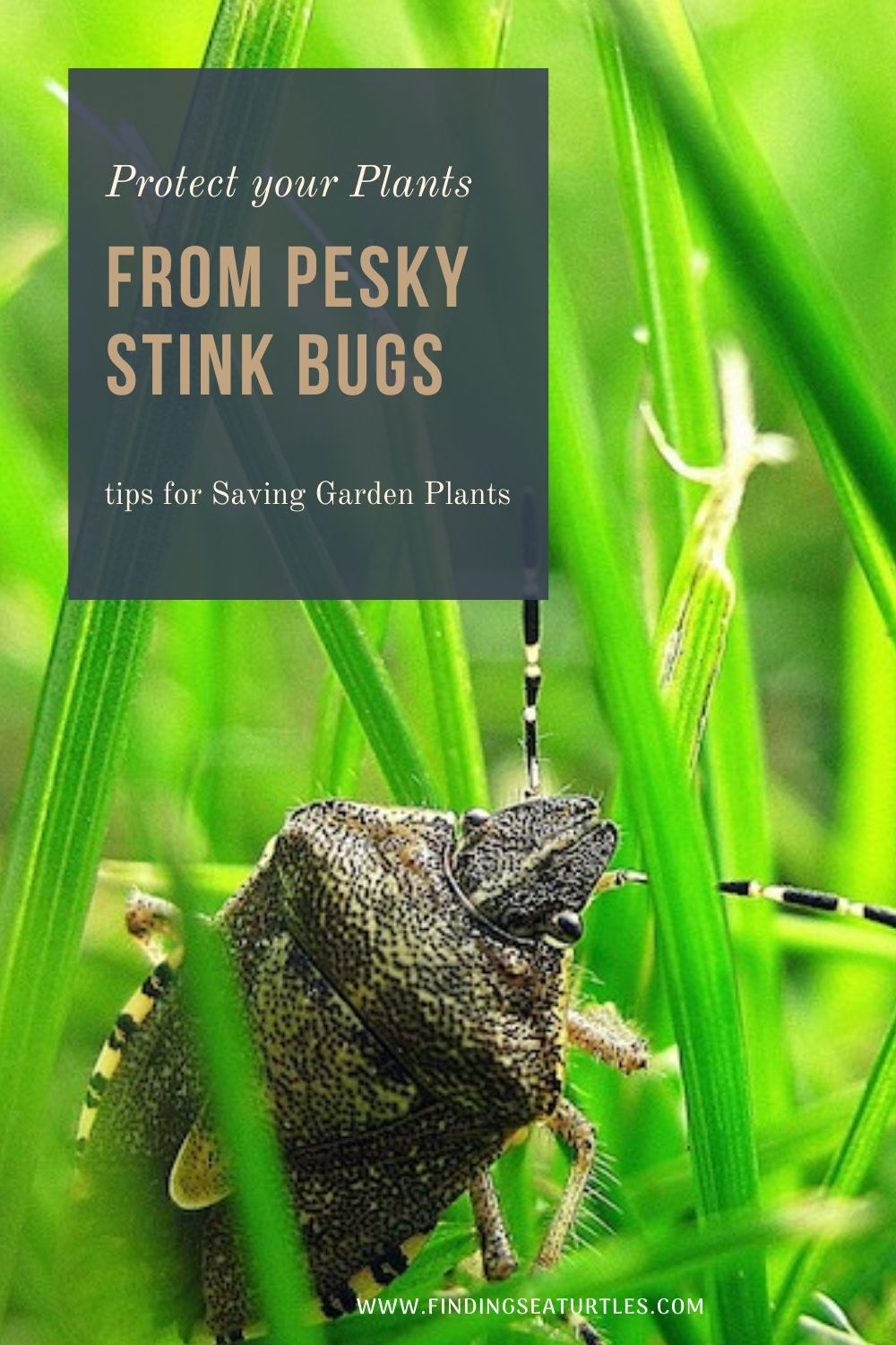 Protect your Plants from Pesky Stink Bugs tips for Saving Garden Plants #Garden #Plants #Gardening #GardenPests #StinkBugs #StoptheBMSB #ControltheStinkBug