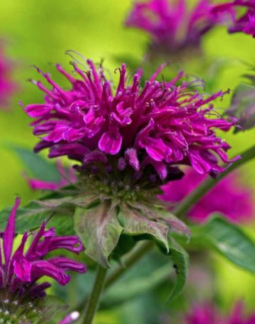 Gardens for Pollinators Purple Rooster Monarda #Hummingbirds #Garden #Gardening #Plants #GardenPollinators #AttractHummingbirds #NectarRichPlants #BeneficialForPollinators