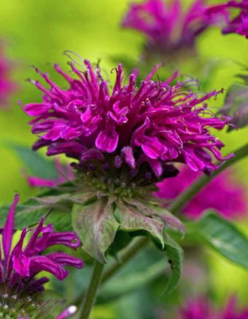 Pollinator Plants that are Rabbit Resistant Purple Rooster Monarda #PollinatorPlants #RabbitResistant #PlantsResistanttoRabbits #PlantsforPollinators #Gardening #Perennials
